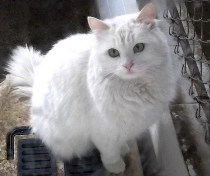 Kot turecka angora - źródło obrazka Wikipedia.org
