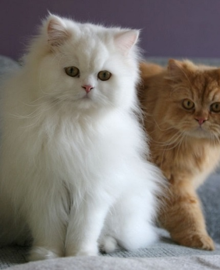 Biały kot perski - źródło obrazka Wikipedia.org