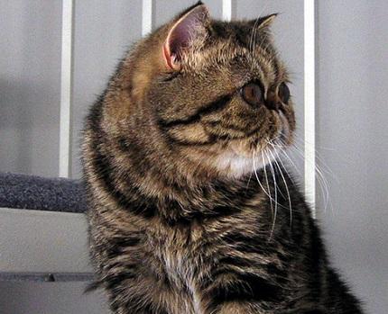 Egzotyczny kot - zdjęcie znalezione na Wikipedia.org