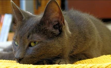 Kot Korat Rasowekotypl