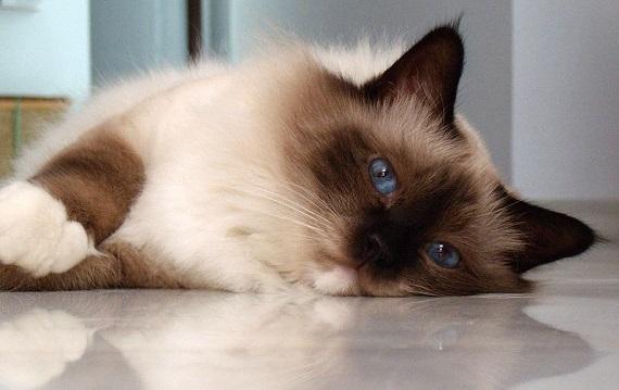 Kot birmański - obrazek znaleziony na A-z-animals.com