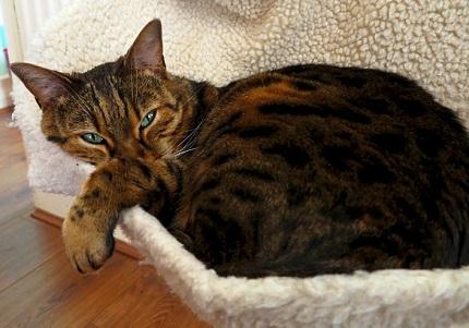 Kot bengalski - źródło obrazka Pixabay.com