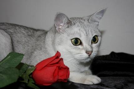 Kot burmilla - źródło obrazka Wikipedia.org
