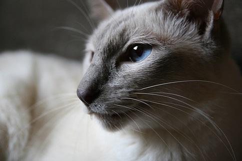 Kot jawajski - obrazek z www.petinsurance.com