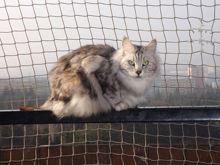 Kot Kurylski Bobtail Rasowekotypl