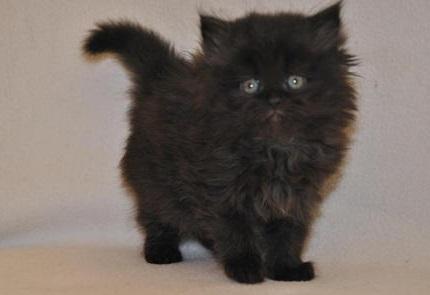 Kot Perski Czarny Rasowekotypl