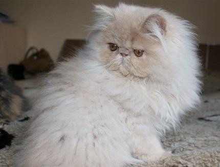 Kot perski kremowy - obrazek znaleziony na Persiancats.eu