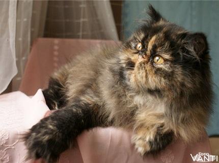 Kot perski szylkretowy - obrazek znaleziony na Persiancats.eu