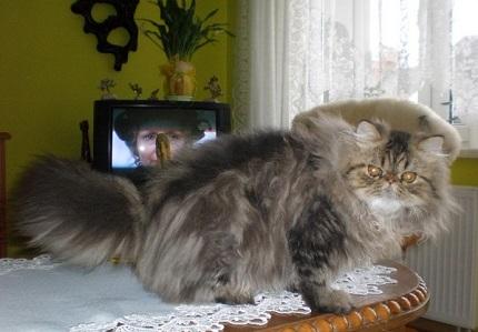 Kot perski - obrazek ze strony AukcjeZwierzat.pl