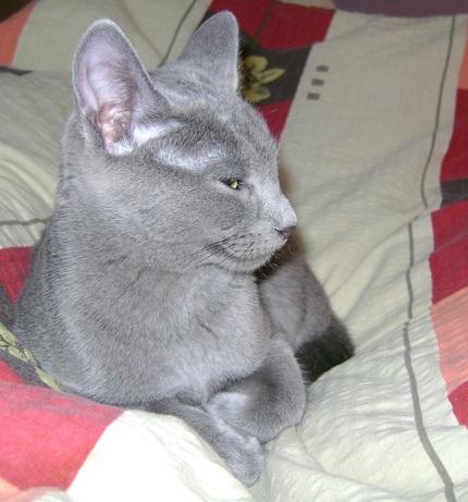 Rosyjski kot niebieski - zdjęcie znalezione na Wikipedia.org