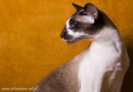 Kot seszelski - obrazek z www.sistermoon.art.pl
