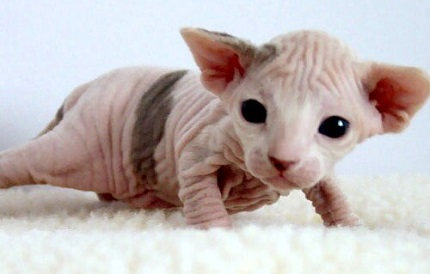 Kot sfinks - źródło obrazka Wikipedia.org