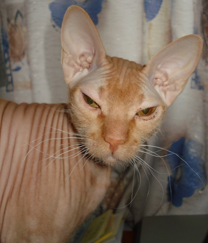 Sfinks - obrazek znaleziony na Wikipedia.org
