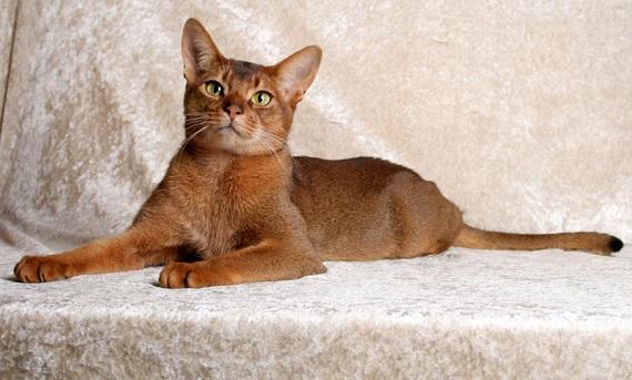 Kot abisyński - znalezione na Wikipedia.org