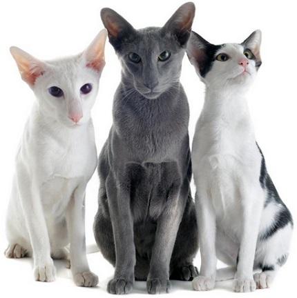 Koty orientalne - obrazek z www.petandu.com