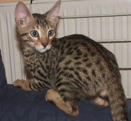 Kot Serengeti - źródło obrazka WP.pl