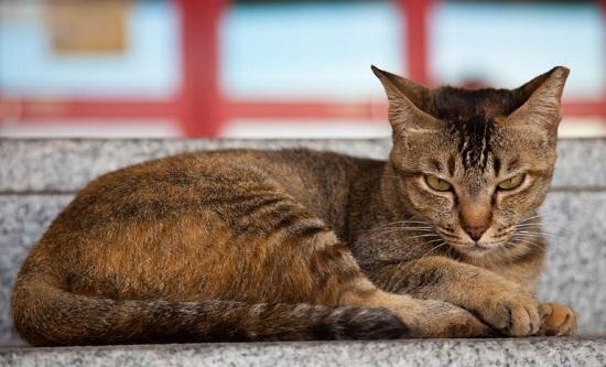 Kot singapurski - źródło obrazka Petandu.com