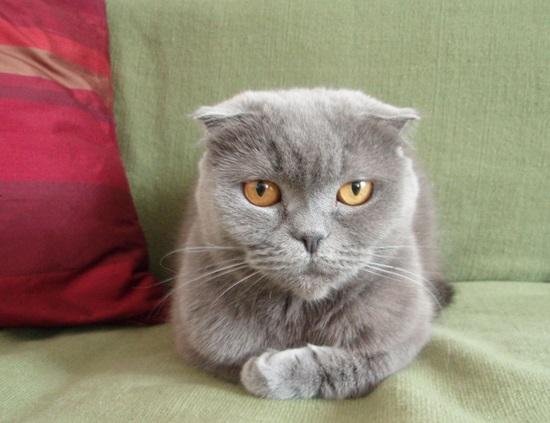 Kot szkocki zwisłouchy - źródło obrazka Wikipedia.org