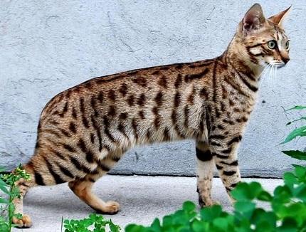 kot savannah - źródło obrazka Zoomia.pl