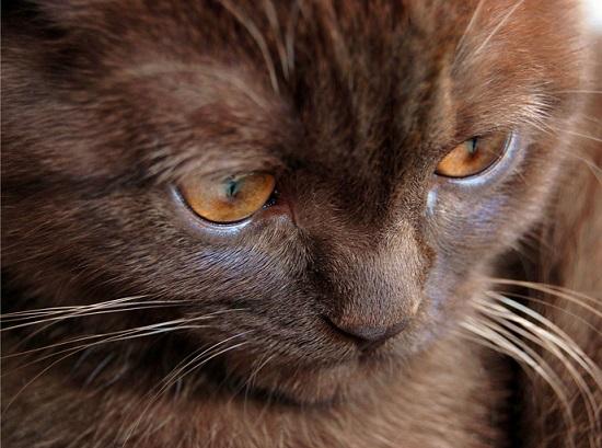 Kot york chocolate - źródło obrazka Catswallpapers.net