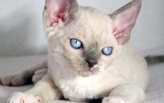 Kot Devon Rex Rasowekotypl