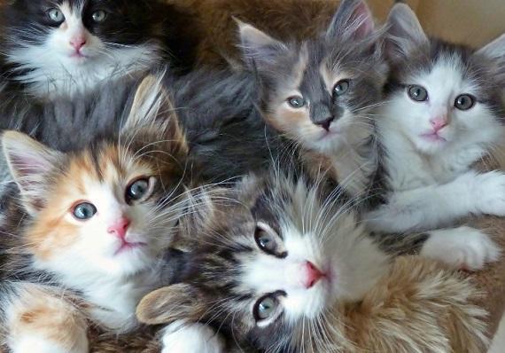 Koty norweskie - źródło obrazka tapeciarnia.pl