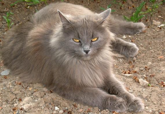 Koty syberyjskie - źródło obrazka Wikipedia.org
