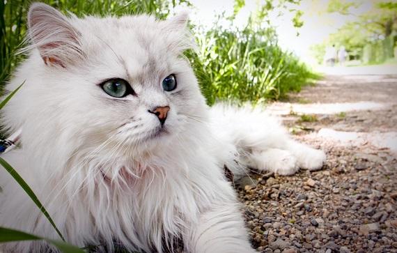 Perski kot - źródło obrazka tapetus.pl