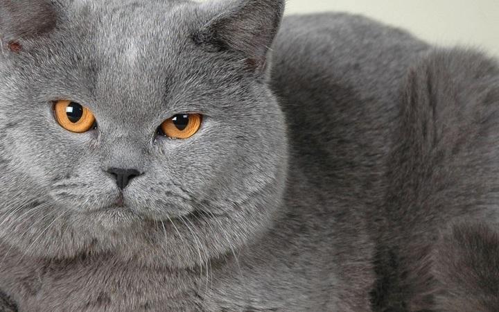 Brytyjskie koty