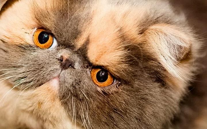 Kot egzotyczny hodowla