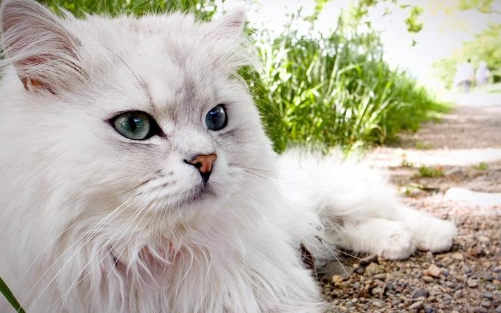 Perskie koty