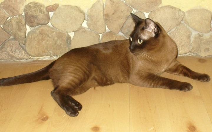 Koty tonkijskie