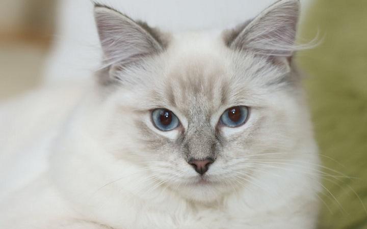 Hodowla kotów ragdoll