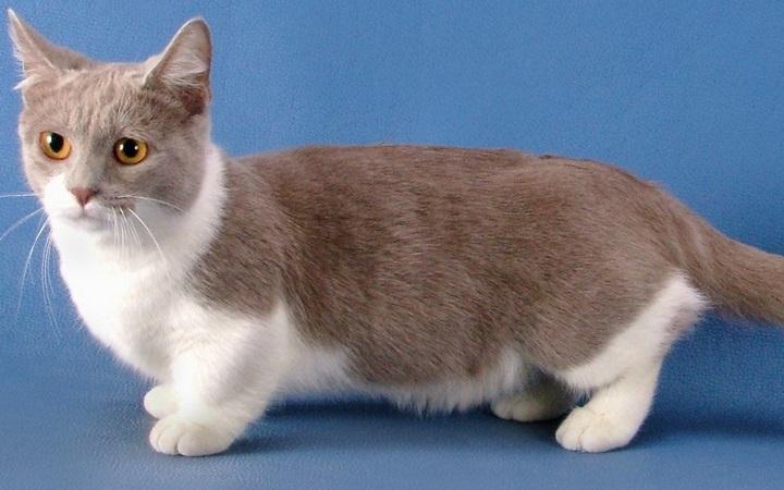 Koty munchkin