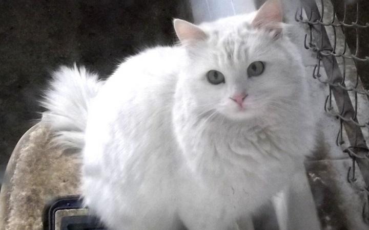 Kot turecki czyli Angora